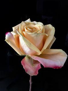 Rose Art, Flowers, Plants, Kunst, Pink Art, Plant, Royal Icing Flowers, Flower, Florals
