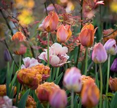 Farmhouse Garden Landscaping Tulips in coppery and soft pink shades blending beautifully with young rose foliage Fortunately taken just before the Growing Tulips, Planting Tulips, Tulips Garden, Garden Bulbs, Perennial Bulbs, Hardy Perennials, Belle Epoque, Types Of Tulips, Mediterranean Garden Design