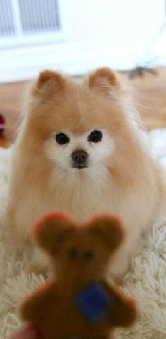 Pomeranian dog with her Teddy bear Cuddly Toy