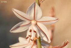 La Tabla en El Jardín: La flor del gamoncillo