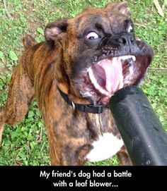 """""""My friends dog has a battle with a leaf blower..."""" ~ Dog Shaming shame - Boxer"""