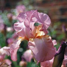 TB Iris germanica 'Lilac Rose' (Muhlestein, 1969)