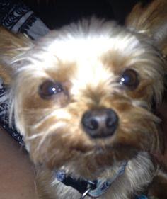 Kiss Me!!! My Yorkie Frankie