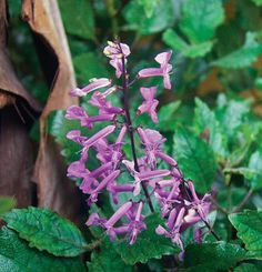 shady tropical Plectranthus 'Mona Lavender'