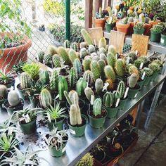 Cacti galore!