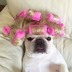 """""""Saturday Night got me like...!"""" Zoe, the French Bulldog in Pink Rollers,  @_zoethefrenchie_"""