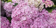 13 Facts Every Hydrangea Enthusiast Needs To Know  - TownandCountryMag.com