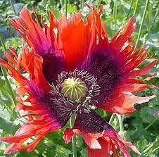 Takalo-Roppolan puutarha- ja mansikkatila: Unikon siemensekoitusta myynnissä Watercolor Flowers Tutorial, Flower Tutorial, Poppy, Plants, Sweet, Google, Candy, Plant, Poppies