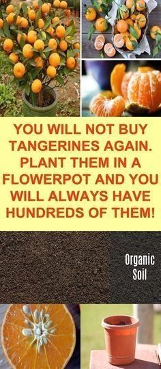 Indoor Vegetable Gardening Check out this post to learn how easy it is to grow your own tangerines in a container! - Check out this post to learn how easy it is to grow your own tangerines in a container! Indoor Vegetable Gardening, Organic Gardening, Gardening Tips, Veggie Gardens, Gardening Books, Hydroponic Gardening, Gardening Services, Gardening Supplies, Gardening Courses