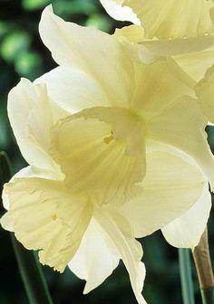 Narciso Narcissus 'Thalia' Fotografia de John Glover, uno de los primeros y de los mas importantes fotografos de jardin del Reino Unido