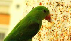 Periquito-verde em Moema