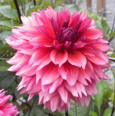 Dahlia 'Sonic Bloom'