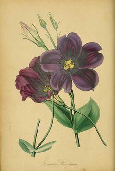 Eustoma grandiflorum - Lisianthus - circa 1839