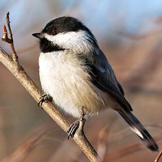 Best Birds for the Garden! Don't let their sweet song fool you. Chickadees and their cousins, titmice, are pest-control champions throughout the United States and Canada.