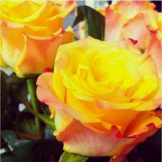 yellow roses :) MY FAVORITE!!!!!!!!:):):)