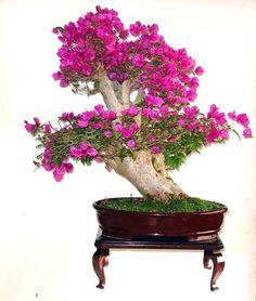 Bougainvillea - Uma das mais belas florações.