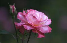 """Rosa  """"Sweet Repose""""- De Ruiter"""