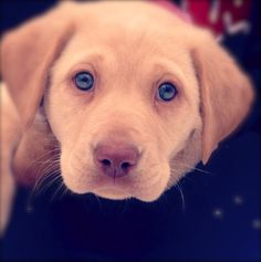 lab puppy:) #rosey
