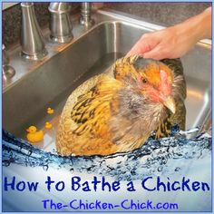 How and When to Bathe a Chicken #BackyardChickens www.FreeHenHousePlans.net http://www.eFowl.com/?Click=32918