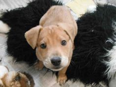 Why, HOWL-OOO there! I am the adorable pup they call Pistachio, and it is wonderful to meet you. How long have you been thinking about bringing a cute puppy like me home? I have been thinking of my fur-ever home for quite some time now. I am a male, tan Hound mix and I am about 10 weeks old (ID#A078123)