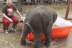 Clumsy Baby Elephant Takes A Bath