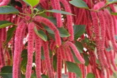 Chenille Plants are Show-Stoppers