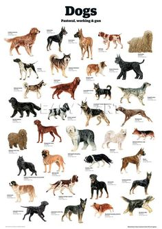Dogs - pastoral, working & gun, guardian wallchart prints from easy Dog Breeds Chart, Types Of Dogs Breeds, Best Dog Breeds, Cat Breeds, Best Dogs, Dog Breeds List Of, Calm Dog Breeds, Puppy Breeds, Friendly Dog Breeds