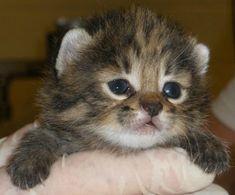 resultado de imagem para gatos mais lindos do mundo gatos de