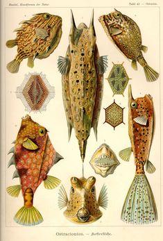 Ostraciontes by Ernst Haeckel; Kunstformen der Natur, 1900