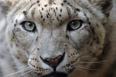 Big Cats in Crisis - Wildlife Conservation Society