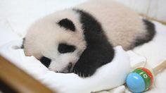 Who doesn't love a sleeping panda?