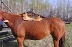 Proper position of a western saddle.