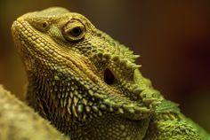Looking through by Manoj Kumar - Animals Reptiles ( lizard, iguana, rebtile )