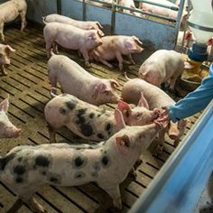Pig farmers in Germany appealing policy of using aesthetic in piglet neutering