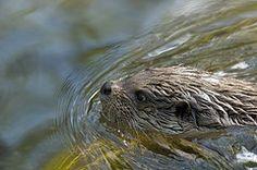 in WaterReijk Weerribben Wieden the waterquality is so good that it's a home for otters (WaterReijk.nl/en)