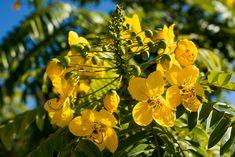 Yellow flowering trees florida florida flowering trees cassia leptophylla gold medallion tree ryanbenoitphoto thehorticult rmb5774 mightylinksfo