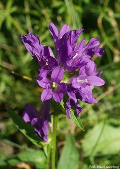 Campanula glomerata kommer av latinets glomus (nystan), glomeratus (gyttrad), och syftar på den täta huvudlika blomställningen. Toppklocka är en flerårig ört med vanligen mörkt blåvioletta blommor i täta toppställda huvuden. Stjälken är upprätt och blir ett par decimeter hög. Bladen är lansettlika med tandad kant och är ganska täthåriga, de nedre är skaftade med rund eller hjärtlik bas medan de övre är oskaftade. Toppklocka blommor i juli-augusti. Halvskuga.