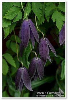 Clematis 'Purple Spider'