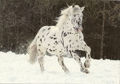 ".Knabstrupper, classical type.  By 1900, the breed's numbers and quality had declined significantly. But supporters of the Knabstrupper horses continued to fight for the survival of the breed, and in 1947 the stud farm ""Egemosegaard"" attempted to reestablish the breed. In 1971, breeder Frede Nielsen brought three Appaloosa stallions to Denmark to infuse new blood into the breed. This was a logical step, as the American Appaloosa developed directly from the Spanish spotted horses ."