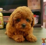 Maltipoo Puppies For Sale In California Man Reportedly Steals Two
