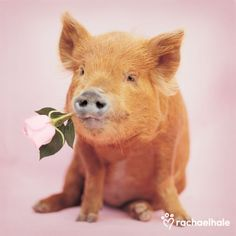 Jordan (Kune Kune Pig) - Jordan always enjoys a little romance.