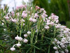 Lavendelheide 'Nikko' - Andromeda polifolia 'Nikko'