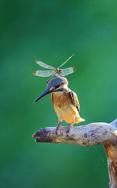 Common Kingfisher and Dragonfiy