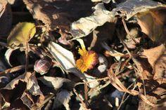 tussilago - Huflattich am 27.12.2015! Nature Pictures, Plants, Garden, Garten, Nature Photography, Planters, Gardening, Outdoor, Home Landscaping