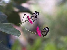 Las mariposas de las alas de cristal Autor: the_jose #ciencia #mariposas #fotografía #insectos