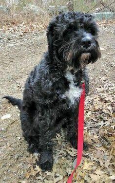 Boxerdoodle Boxer P Poodle Mix Fluffy Dogs Domestic Dog