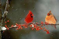 Cardinal couple in winter