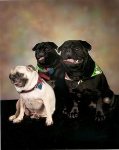 Mr. and Mrs. Pug aren't sure how to break it to their daughter that she's adopted