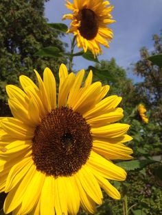 Our amazing sunflowers 2015