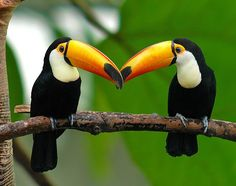 Beak to Beak Kiss - Toucans Tropical Birds, Exotic Birds, Colorful Birds, Pretty Birds, Love Birds, Beautiful Birds, Fruit Loops Bird, Toco Toucan, Puffins Bird
